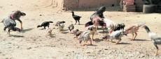 galinhas no quintal