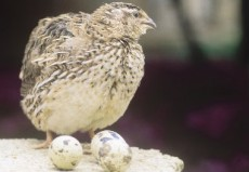 A recomendação é acrescentar na alimentação da ave farinha de ovo